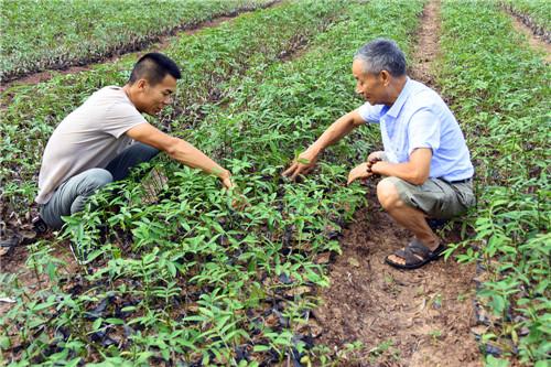 高级农艺师邱学清(右)在育苗基地就进行技术指导.jpg