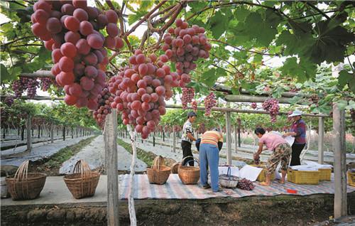 葡萄产业助推现代农业发展。.jpg